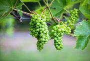 25th Jun 2016 - Grapes from Amalthea