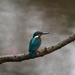 Male Kingfisher by padlock