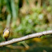 2016 09 03 - Grey Wagtail by pixiemac
