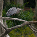 Blue Heron in the Blue Heron Tree! by rickster549