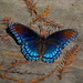 Red-spotted purple (Liminitis arthemis) by congaree