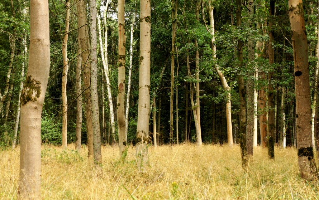 Pale tree trunks by boxplayer