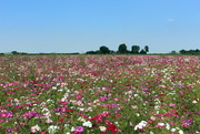 3rd Sep 2016 - One of the last flowerfields.