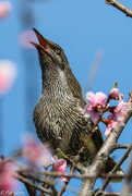 5th Sep 2016 - Squawking amongst the blossom