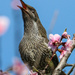 Squawking amongst the blossom by flyrobin