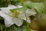 5th Sep 2016 - Clematis and leaves