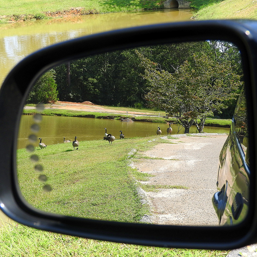 The geese are following me home! by homeschoolmom