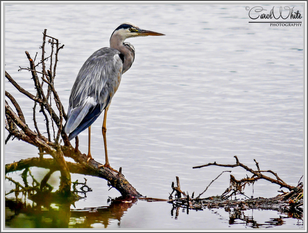 Grey Heron, Storton's Pit by carolmw