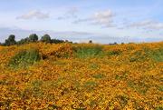 6th Sep 2016 - Echinacea field