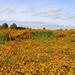 Echinacea field by pyrrhula