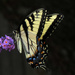 Hooray - Another Swallowtail by milaniet