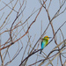 Rainbow bee-eater by hrs