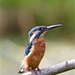 Kingfisher-male by padlock