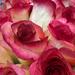 Roses for sale by loweygrace