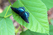 7th Sep 2016 - Butterfly on Leaf
