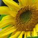 Bright Sunflower by seattlite