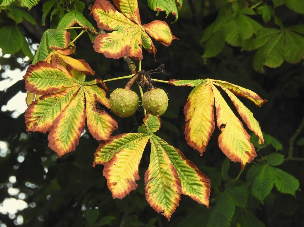 Horse Chestnut by roachling