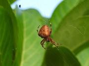 7th Sep 2016 - Garden spider
