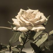 8th Sep 2016 - September Rose