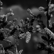 8th Sep 2016 - Spruce Cones