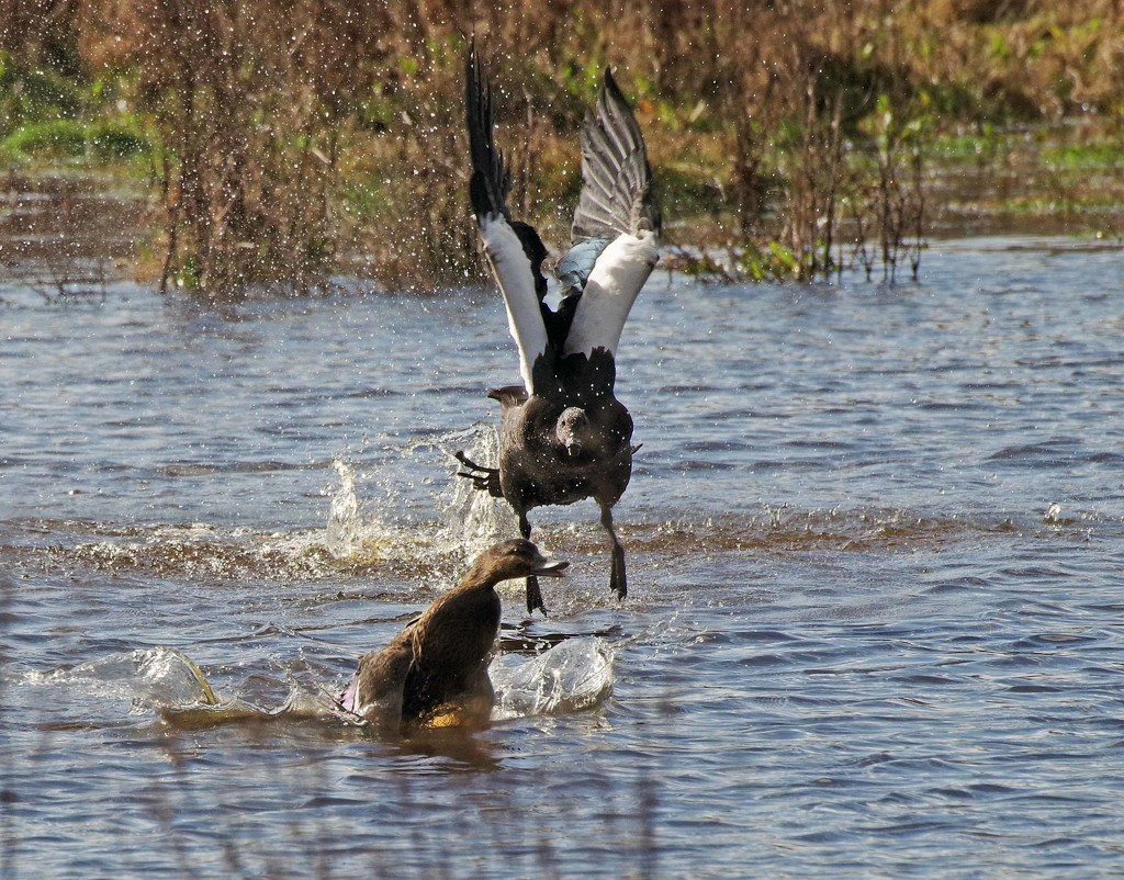 Hey you get out of MY pond by maureenpp