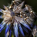 Autumnal Echinops by megpicatilly