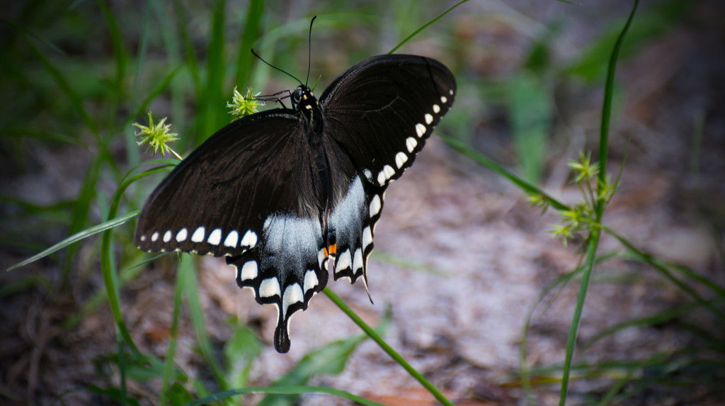 Spicebush Swallowtail Butterfly! by rickster549