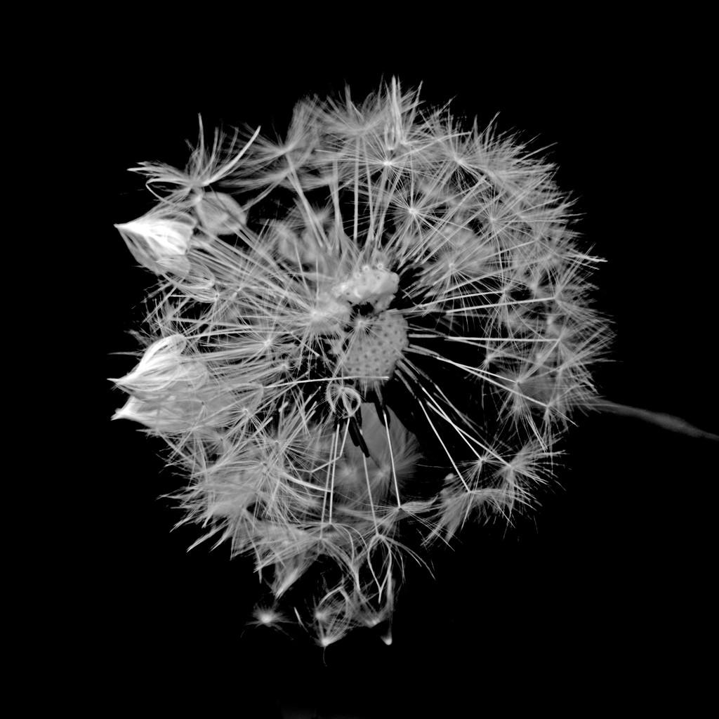 Dandelion  by ziggy77