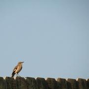 9th Sep 2016 - And If That Mockingbird Won't Sing