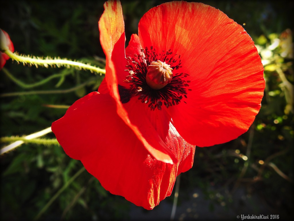 poppy by yorkshirekiwi
