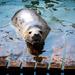 Seal by swillinbillyflynn