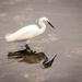 Egret by swillinbillyflynn
