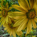 Up Close with the Sunflowers by milaniet
