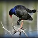 Pukeko by yorkshirekiwi