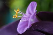 11th Sep 2016 - Purple Queen