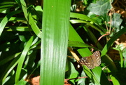 11th Sep 2016 - Speckled wood