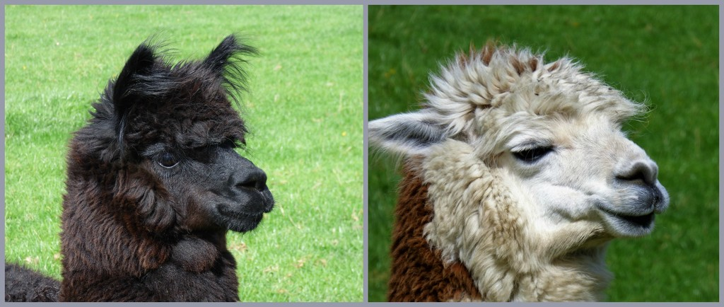 Alpacas by beryl