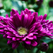 Purple Chrysanthemum by elisasaeter
