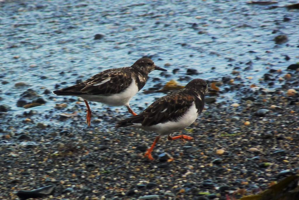 A pair of running Plovers... or Turnstones ;) by rubyshepherd
