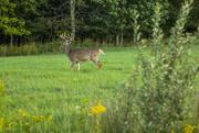 11th Sep 2016 - Buck in Jeffersonville