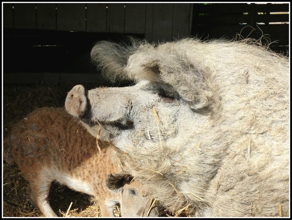 Mangalites -- woolly pigs by beryl