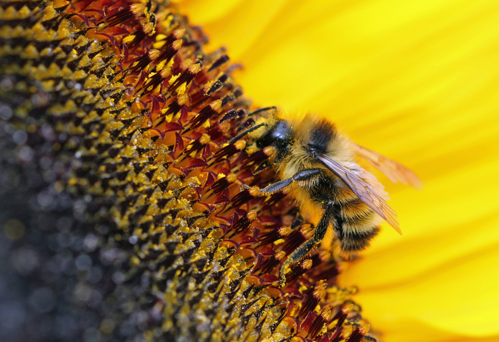 Bee on Sunflower by gaylewood