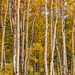 Golden Aspens by lynne5477