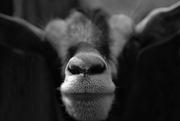 13th Sep 2016 - Goatee