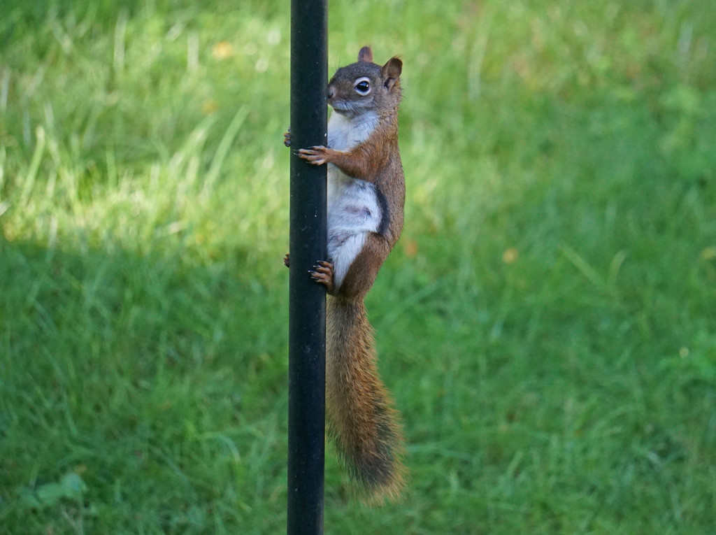 Red Squirrel Climbing the Feeder Pole by annepann