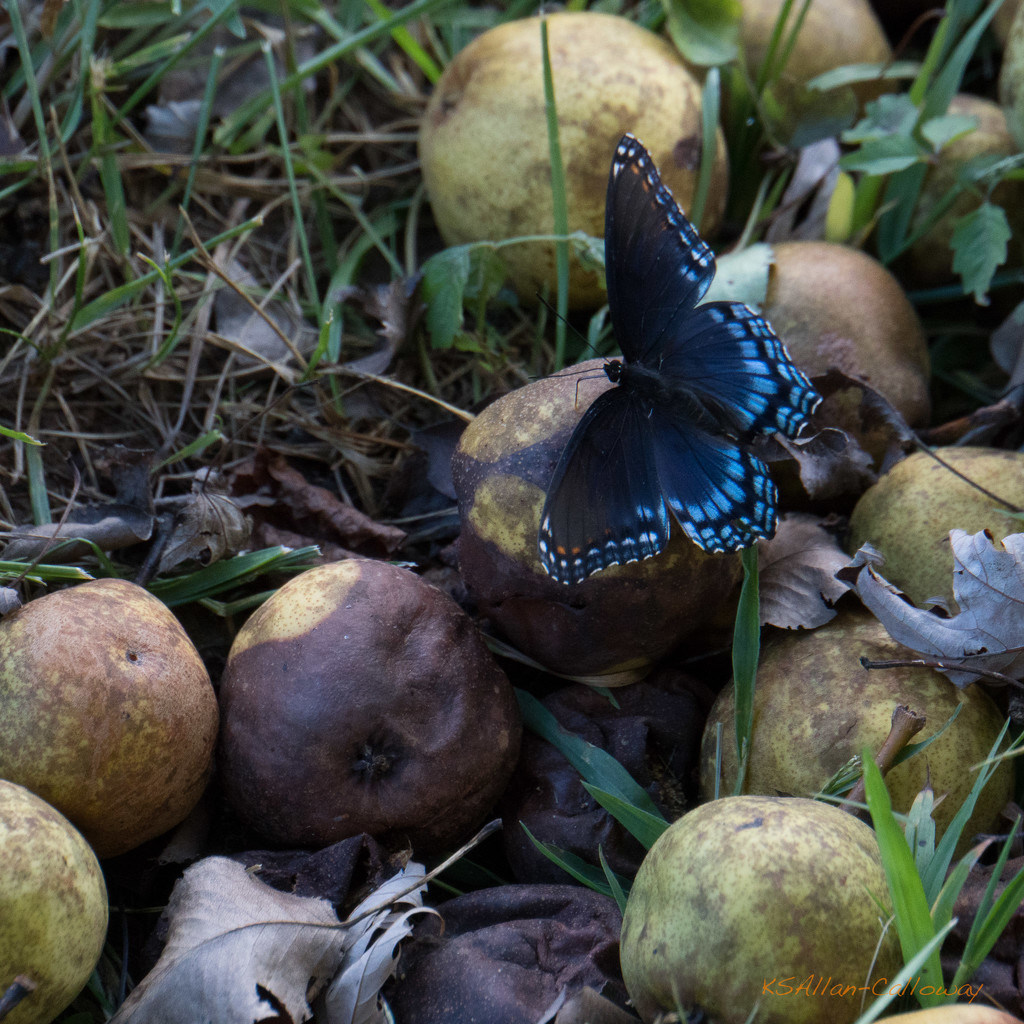 Swallowtail on pears by randystreat