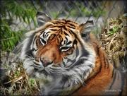 14th Sep 2016 - Sumatran Tiger