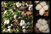 13th Sep 2016 - Cotton Crop 2016