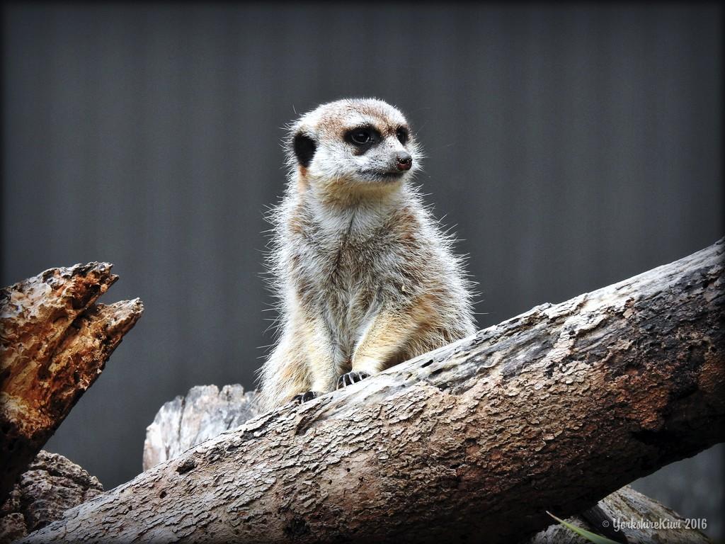Meerkat by yorkshirekiwi
