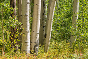 14th Sep 2016 - Aspen Trees